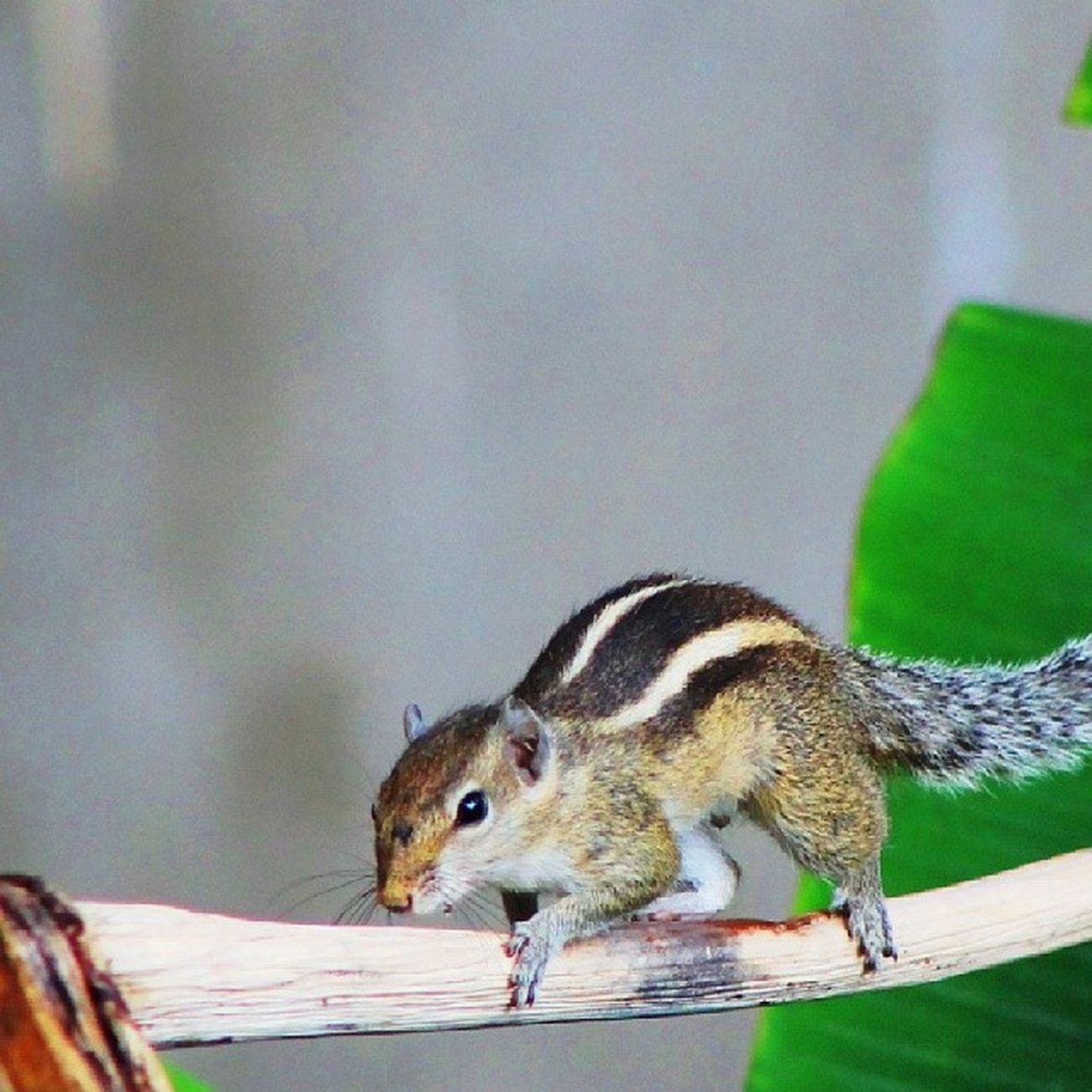 Squirrel in my Backyard ... Thought it could get away without getting Photographed ... ;).. Trivandrum Kerala India Kottayam