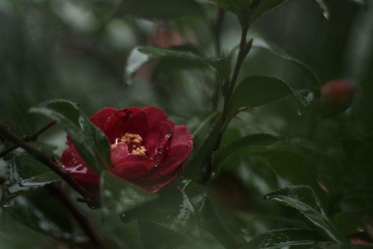 Flowers Flower Yashinon Oldlens Oldlense Camellia Camellia Flower