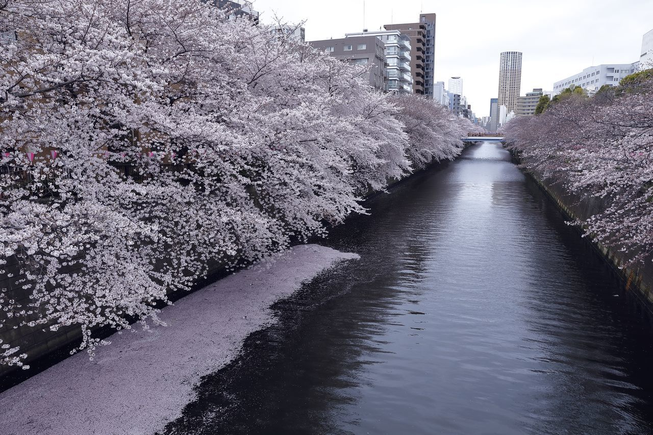 Cherry Blossom Cherry Blossoms City City Life Cityscape Flower Flowers Japan Japan Photography Nature Nature Photography Nature_collection River River View Riverside Sakura Spring Spring Flowers Springtime Street Street Photography Streetphotography Tokyo Tree Water