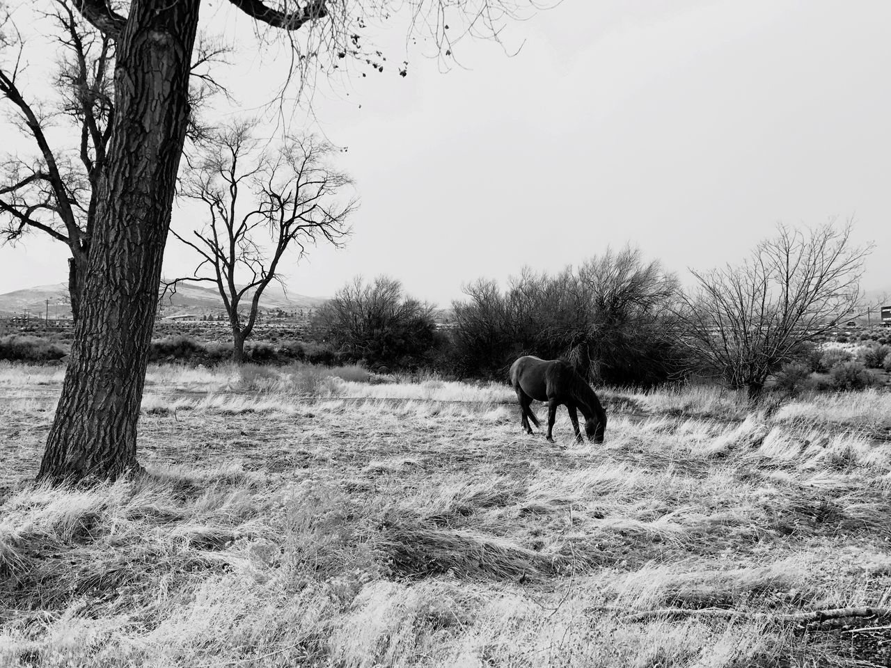 mammal, domestic animals, animal themes, field, horse, bare tree, tree, nature, day, outdoors, no people, one animal, landscape, grass, pets, beauty in nature, sky