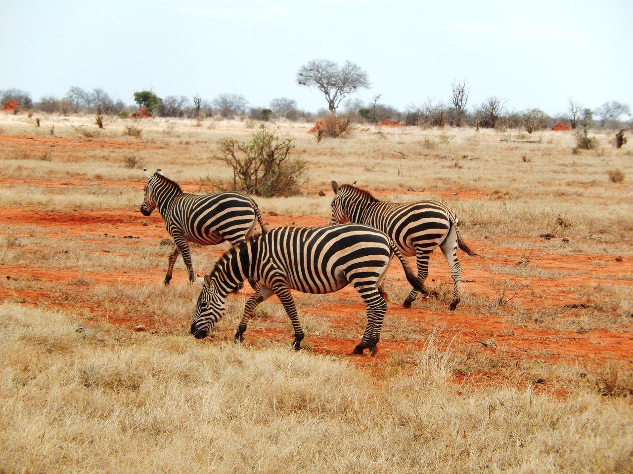 Africa Animal Themes Animals In The Wild Kenya Landscape Nationalpark Nature Safari Safari Animals Side View Striped Travel Travel Destinations Tsavo Wildlife Zebra