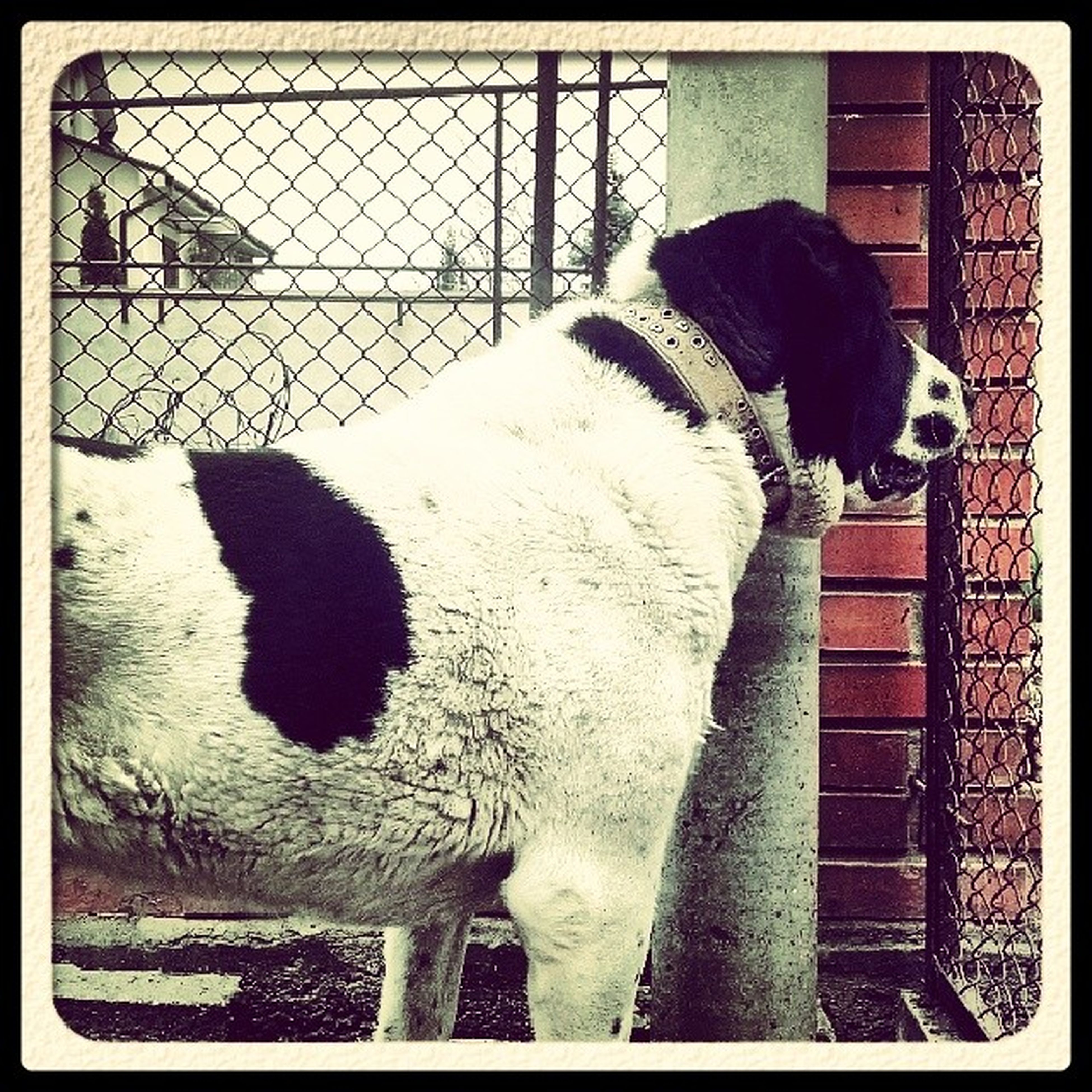 transfer print, domestic animals, auto post production filter, fence, pets, mammal, animal themes, dog, one animal, chainlink fence, standing, day, metal, protection, sitting, outdoors, full length, sunlight