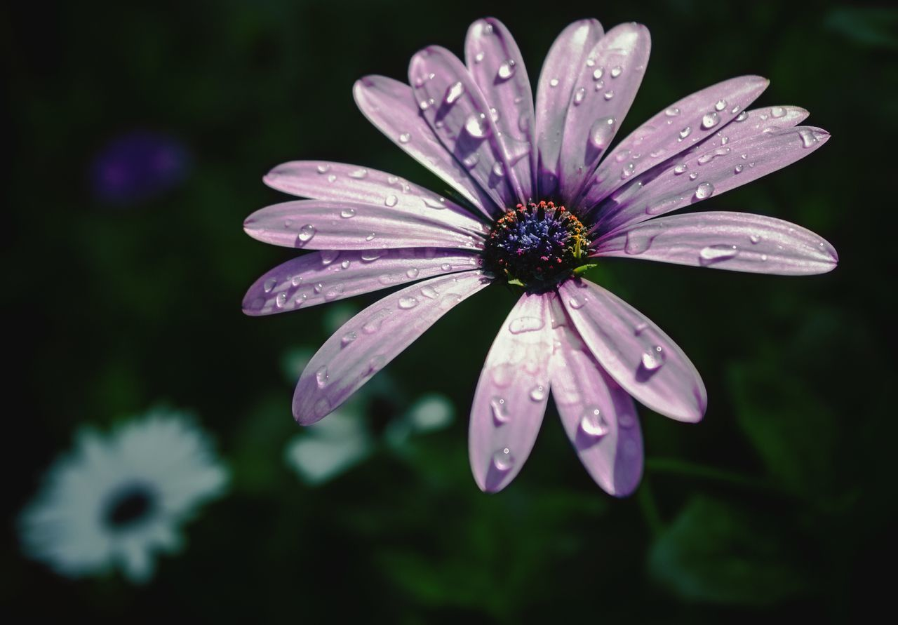 Osteospermum Flower Fragility Nature Beauty In Nature Freshness Close-up Flower Head Petal Purple Outdoors Raindrops Rain Drops On Flower