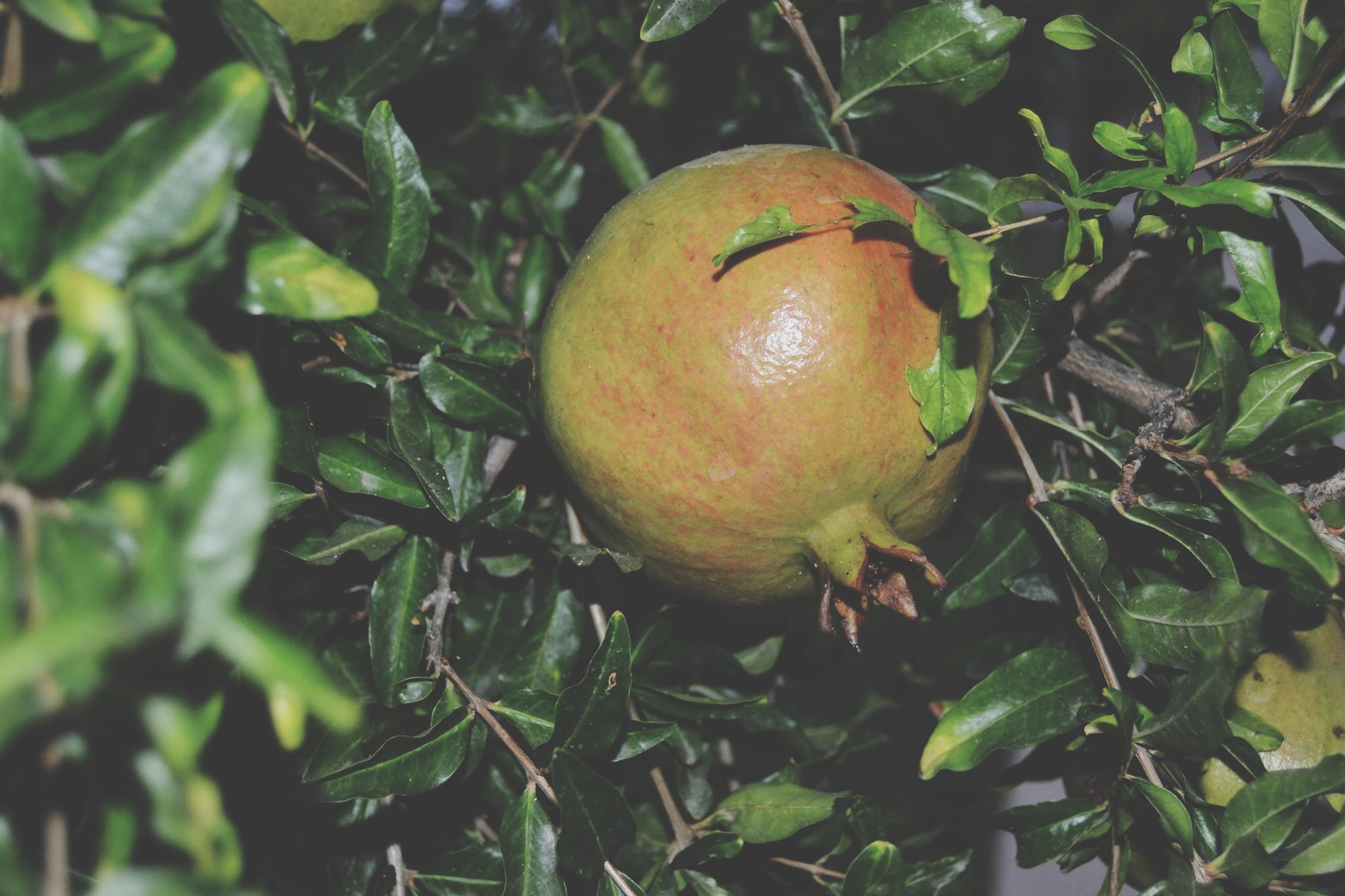 food and drink, fruit, food, leaf, healthy eating, freshness, growth, close-up, green color, tree, nature, branch, outdoors, day, no people, ripe, plant, vegetable, focus on foreground, apple - fruit