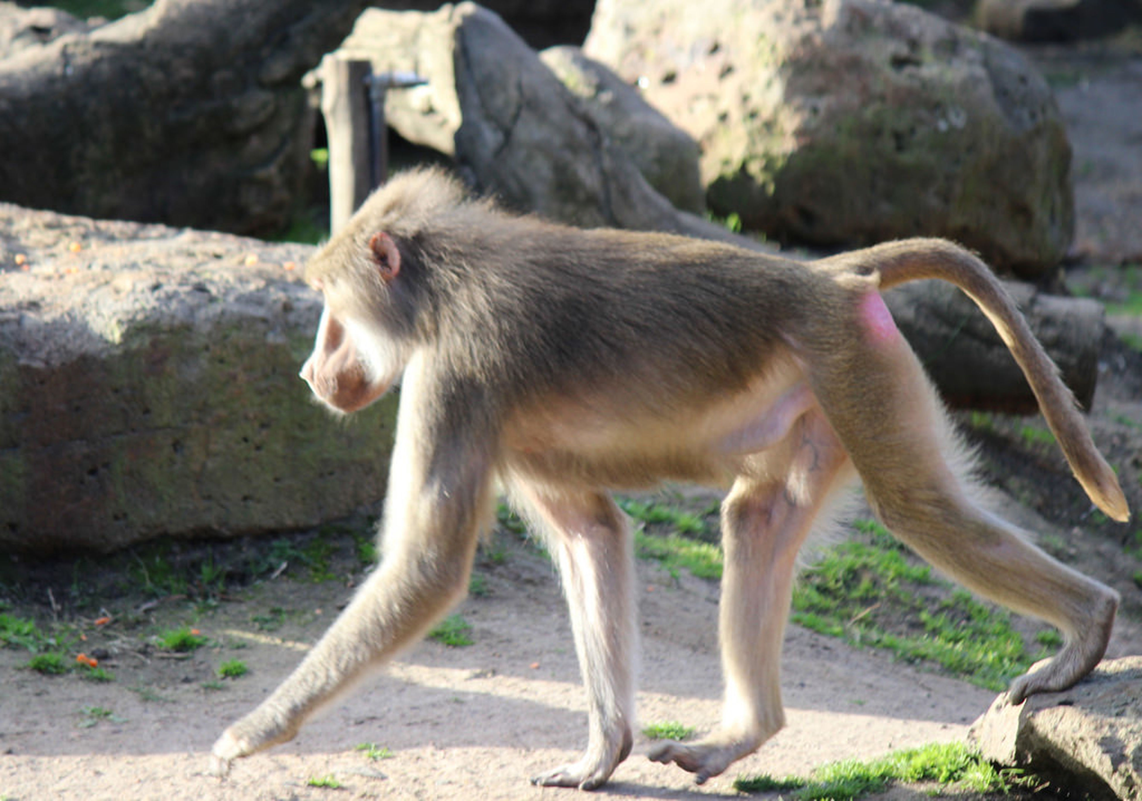 animal themes, one animal, animals in the wild, mammal, wildlife, full length, focus on foreground, monkey, side view, standing, zoo, outdoors, nature, day, two animals, rock - object, close-up, no people, looking away, vertebrate