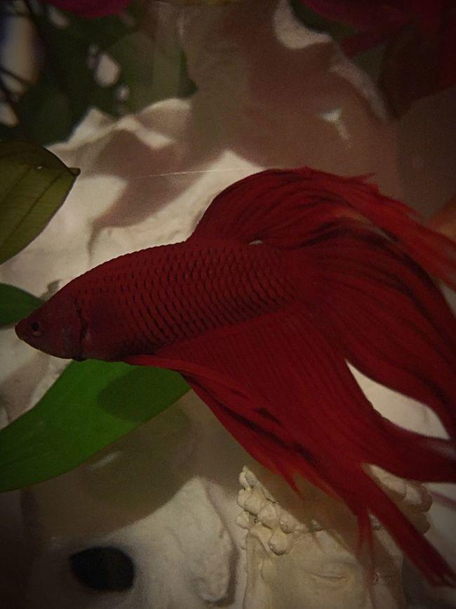 Siamese Fighting Fish Betta Fish Fish Red