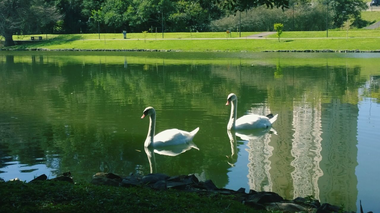 Water Reflection Bird Nature Animal Themes Lake Animals In The Wild Beauty In Nature Swan No People Day Outdoors Tranquility Large Group Of Animals Tree