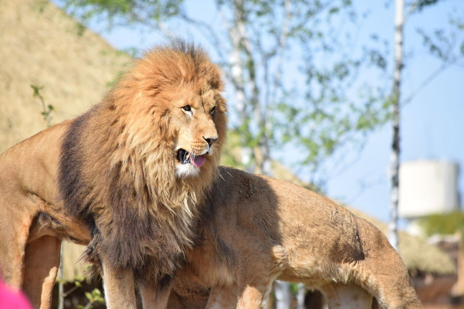 lion Animal Themes Animals In The Wild Close-up Day Feline Focus On Foreground King Lion Mammal Nature No People One Animal Outdoors Powerful Rock Strong Tree