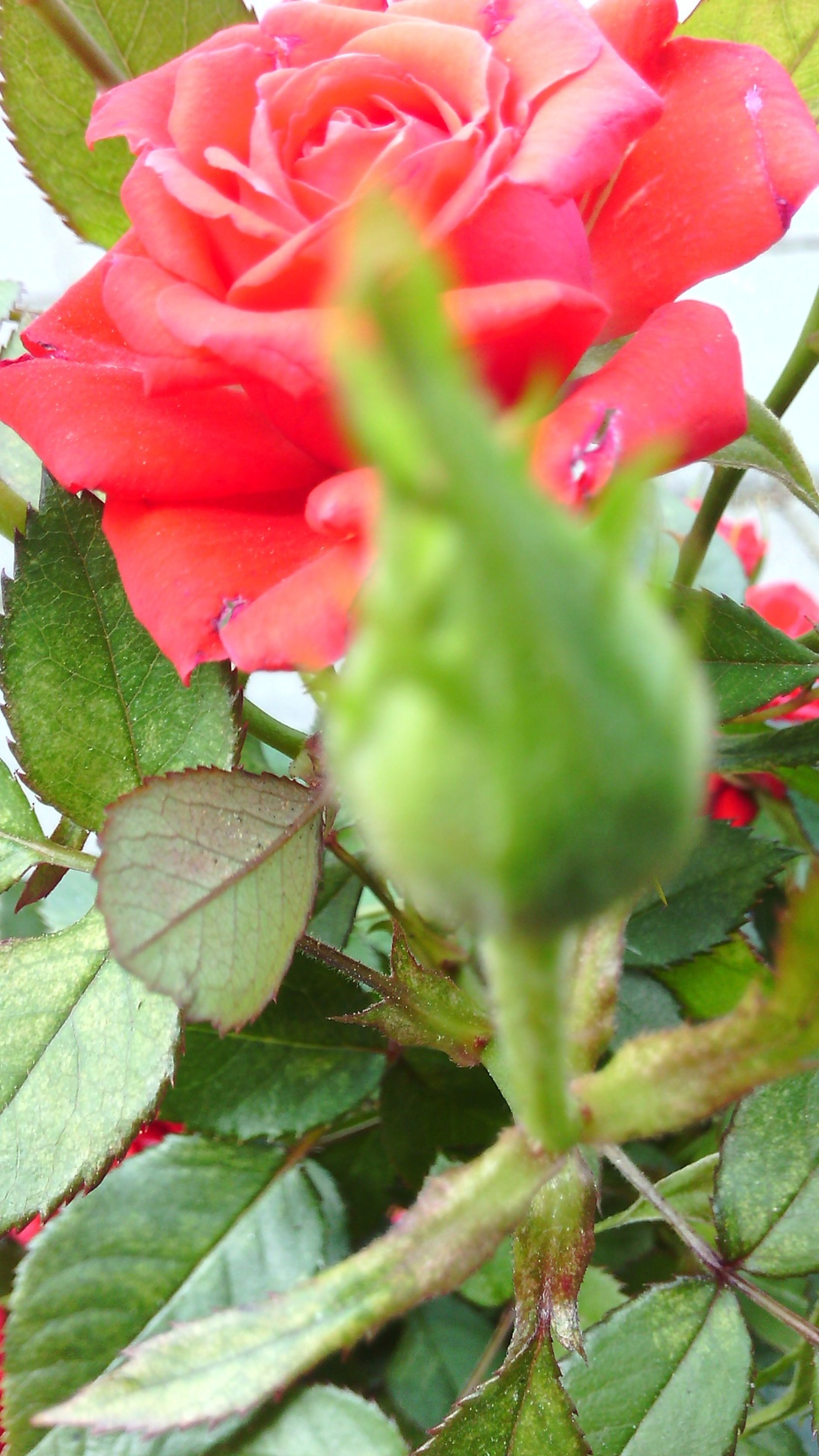 flower, growth, freshness, petal, fragility, leaf, plant, flower head, close-up, red, beauty in nature, nature, blooming, focus on foreground, single flower, rose - flower, pink color, bud, green color, day
