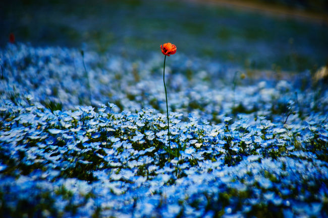 Ahead Beauty In Nature Blossom Blue Close-up Dramatic Field Flower Flowers In Bloom Nature_collection Nature Lover Nature Photography Nemophila No People Plant Red Red Flower Selective Focus