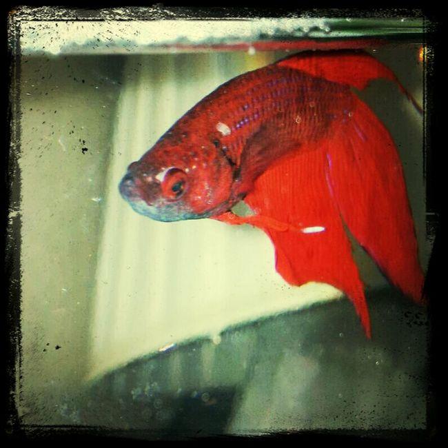 Fish Betta Fish Betta  Red