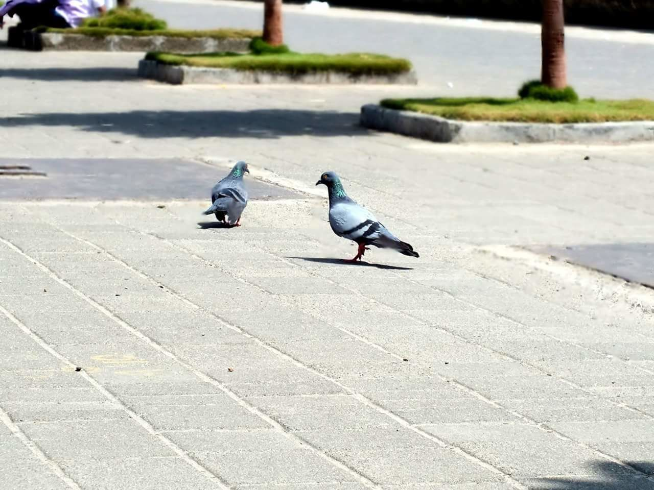 Birds Pigeon Bird Animal Themes Animals In The Wild Dove - Bird Focus On Foreground Animal Wildlife Outdoors Songbird  Togetherness Nature Living Organism Pigeons Pigeonslife Perching Sunlight No People Mourning Dove Pigeons On The Road