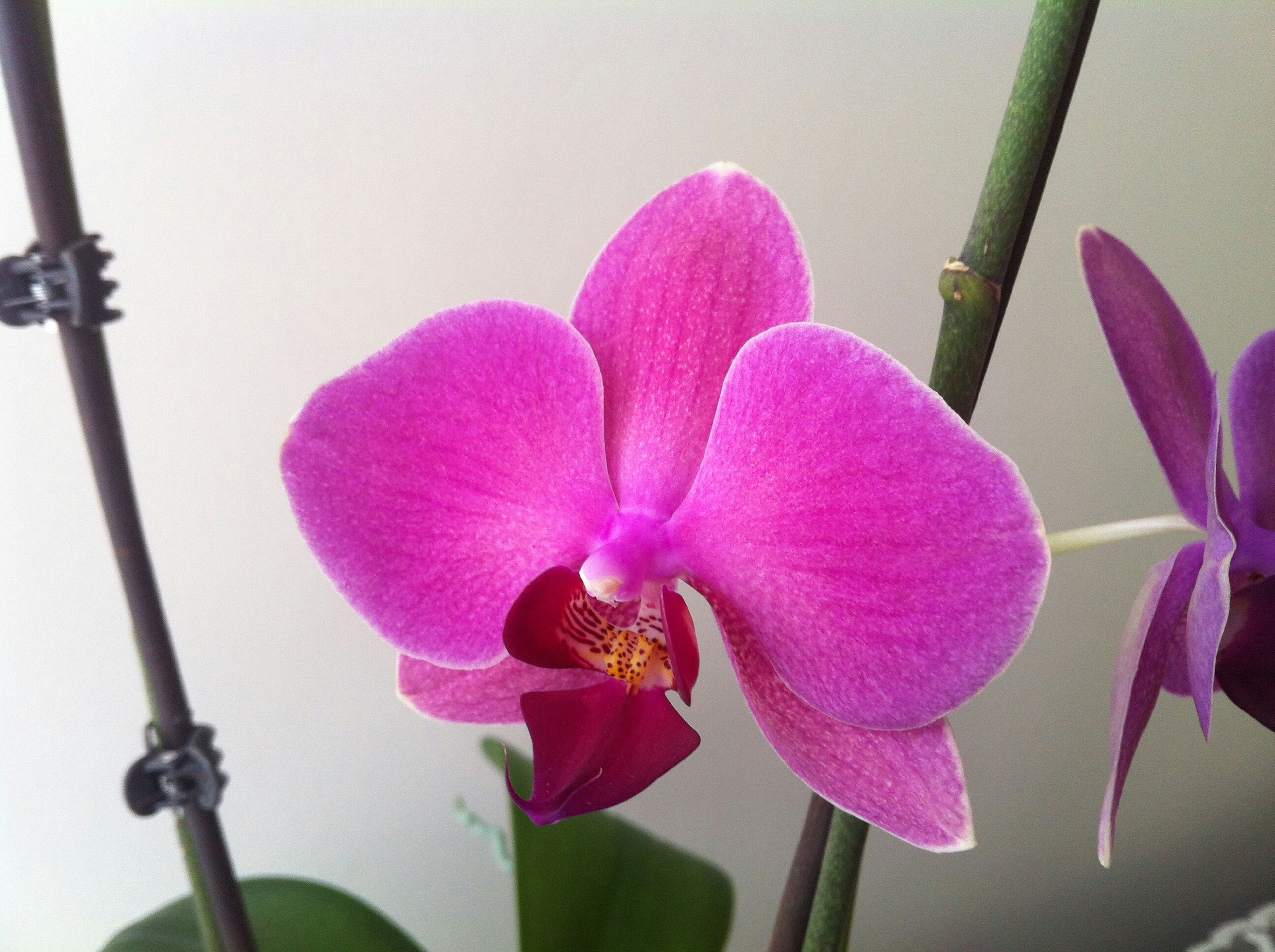 flower, fragility, pink color, petal, freshness, flower head, purple, close-up, indoors, stem, orchid, beauty in nature, growth, nature, focus on foreground, plant, no people, blooming, pink, day