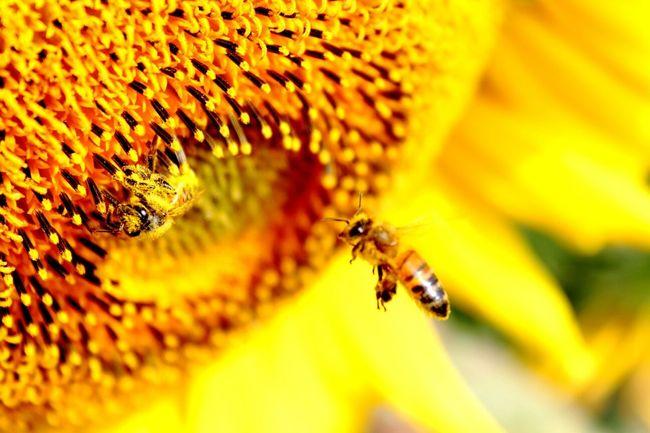Sunflower + bees Nature