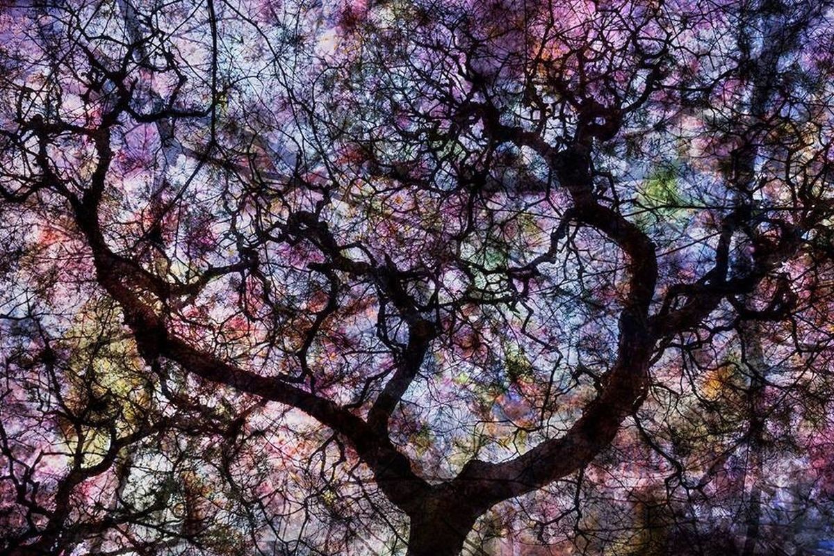 Cherryblossoms Kyoto, Japan Cherry Blossoms Spring Flowers Flower Pattern Silhouette Sky Trees Colors