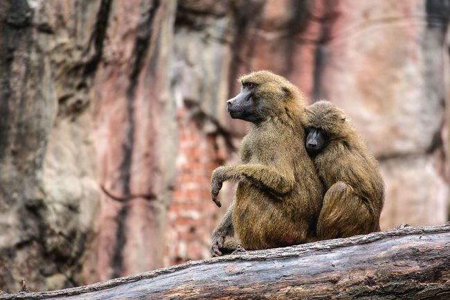keep me safe and warm.... Zoology Zoo Animals  Zoo Baboon Baboons Togetherness Pavian Tiergarten Tierpark Tiere Affen Animals Of Eyeem Trust