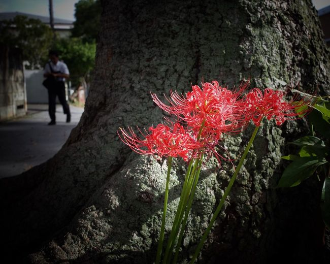 Cluster Amaryllis Flower Streetphotography Street Photography Snapshots Of Life