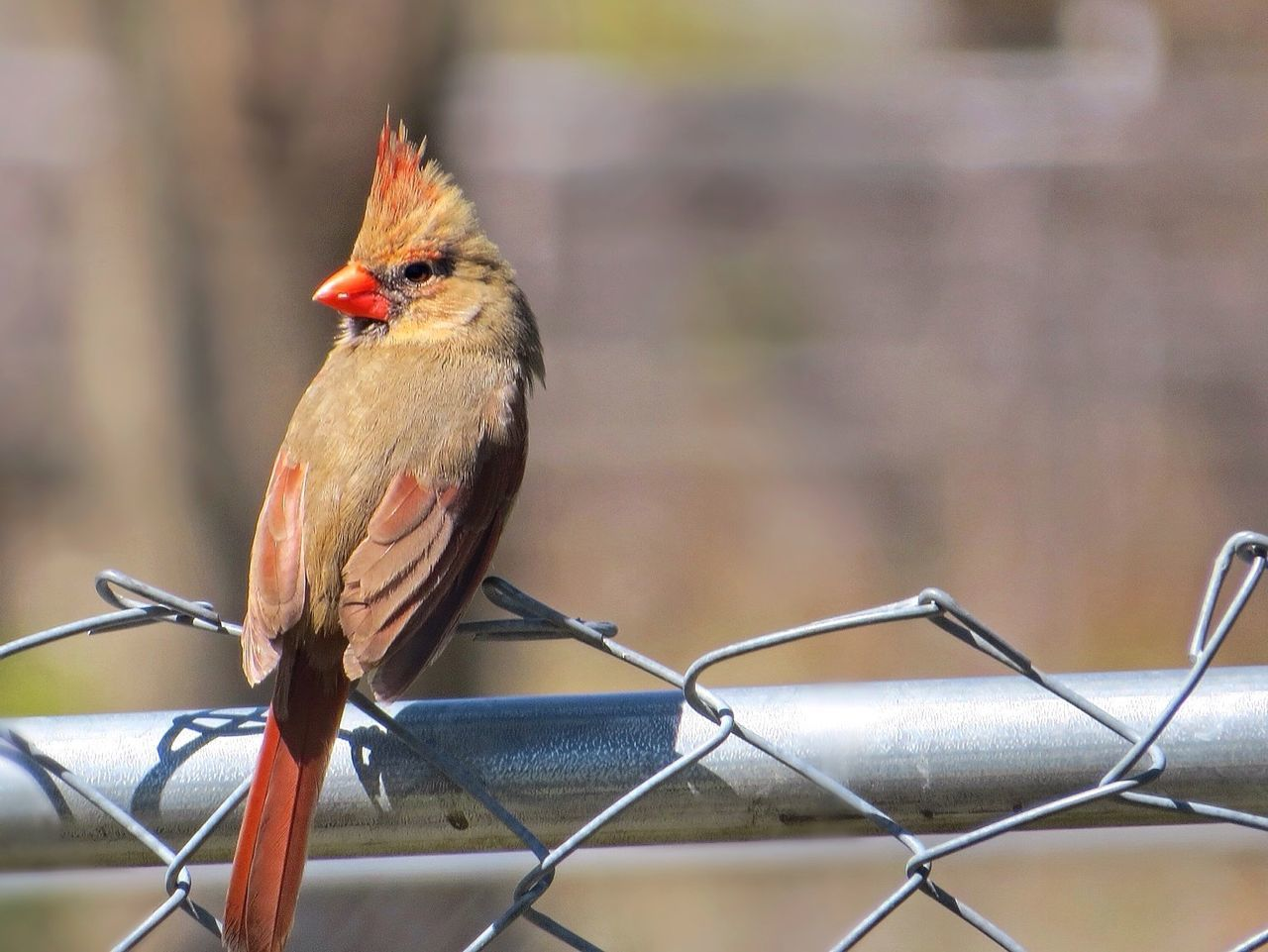 She's a beauty~ Female Cardinal Bird Photography Birds_collection Birds Of EyeEm  Birdwatching Nature_collection Spring 2016 Fence Feathers Wings Feathered Friends Outdoor Photography Backyard Nature On Your Doorstep From My Point Of View Myyard Check This Out Appreciation Lessismore Close-up Hanging Out Naturelovers Nature_perfection Bird Watching Birdfreaks Makesmesmile 😍💞