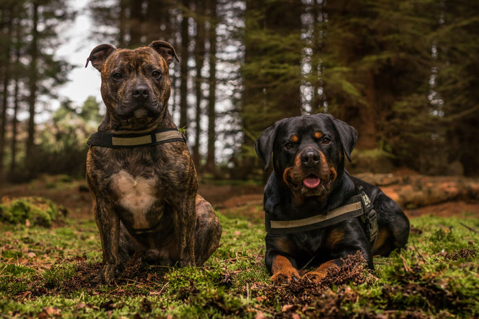 My boys WoodLand Animal Themes Blackandtan Day Dog Domestic Animals Mammal Nature No People Outdoor Outdoors Pets Portrait Rottweiler Rottweilerlove Staffordshire Bull Terrier Staffy