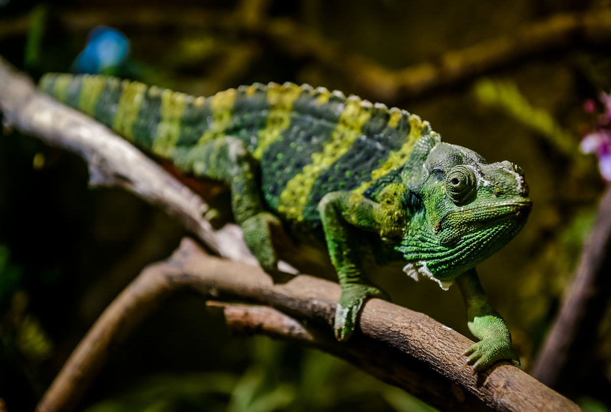 Meller's chameleon (Giant one-horned chameleon) on a branch Animal Animal Themes Animal Wildlife Animals In The Wild Branch Chameleon Chameleons Climbing Close-up Creepy Exotic Animal Meller's Chameleon Natural Nature No People One One Animal One-horned Chameleon Outdoors Reptile Reptile Tree Twig