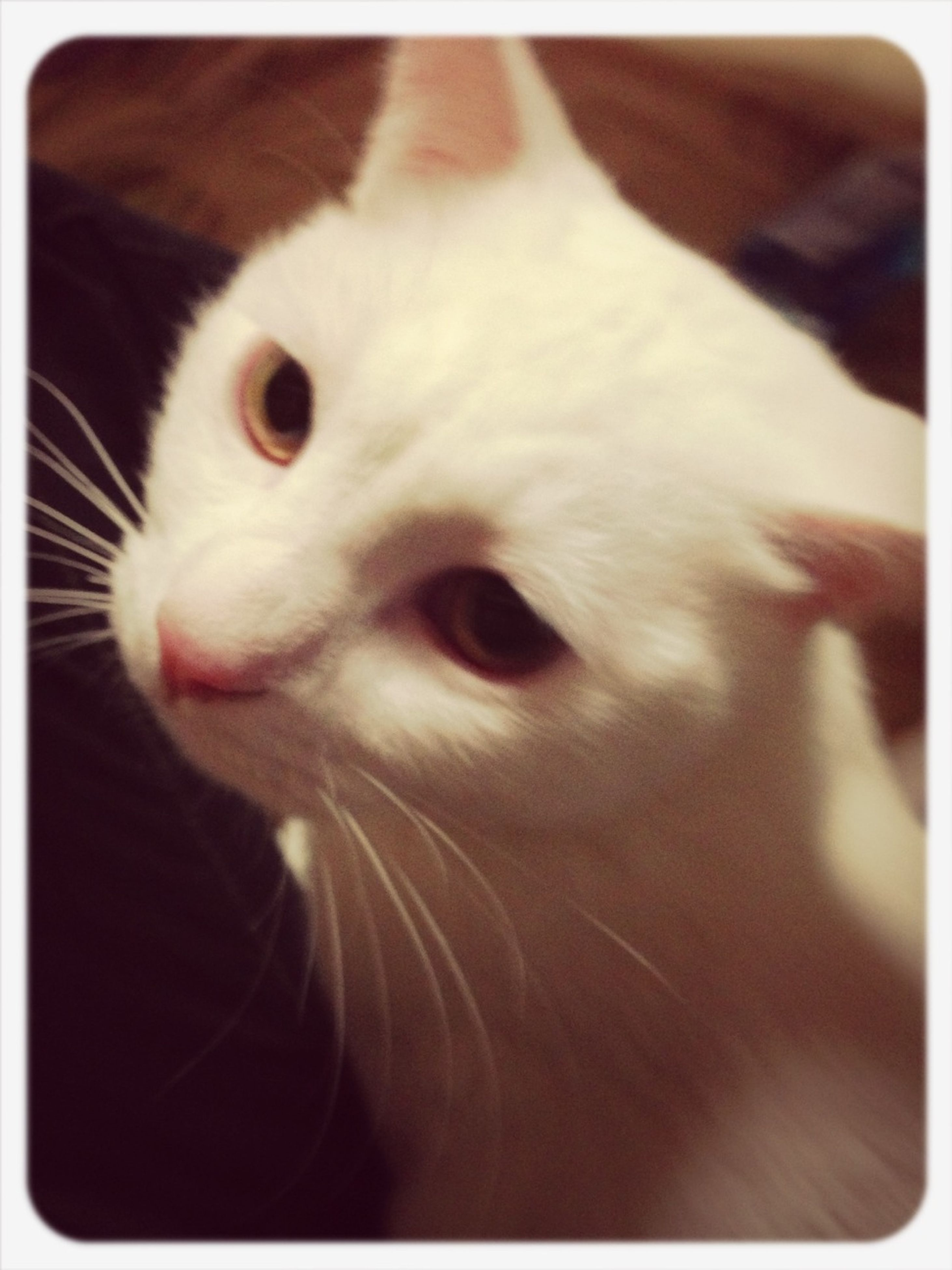 domestic animals, pets, animal themes, one animal, indoors, mammal, transfer print, auto post production filter, animal head, domestic cat, close-up, cat, portrait, looking at camera, animal body part, feline, whisker, home interior, relaxation, white color