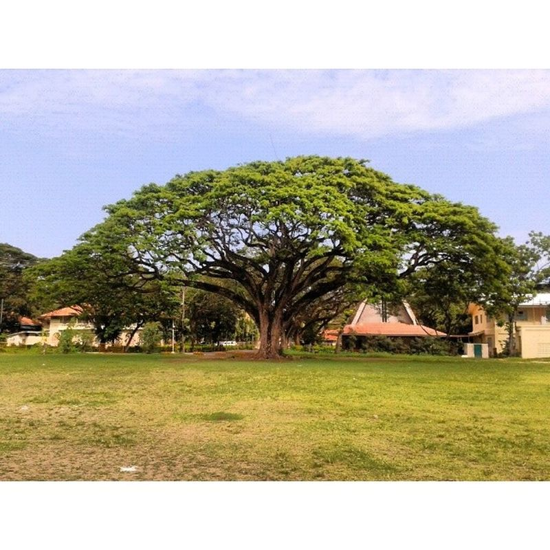 The most photographed tree in the campus.