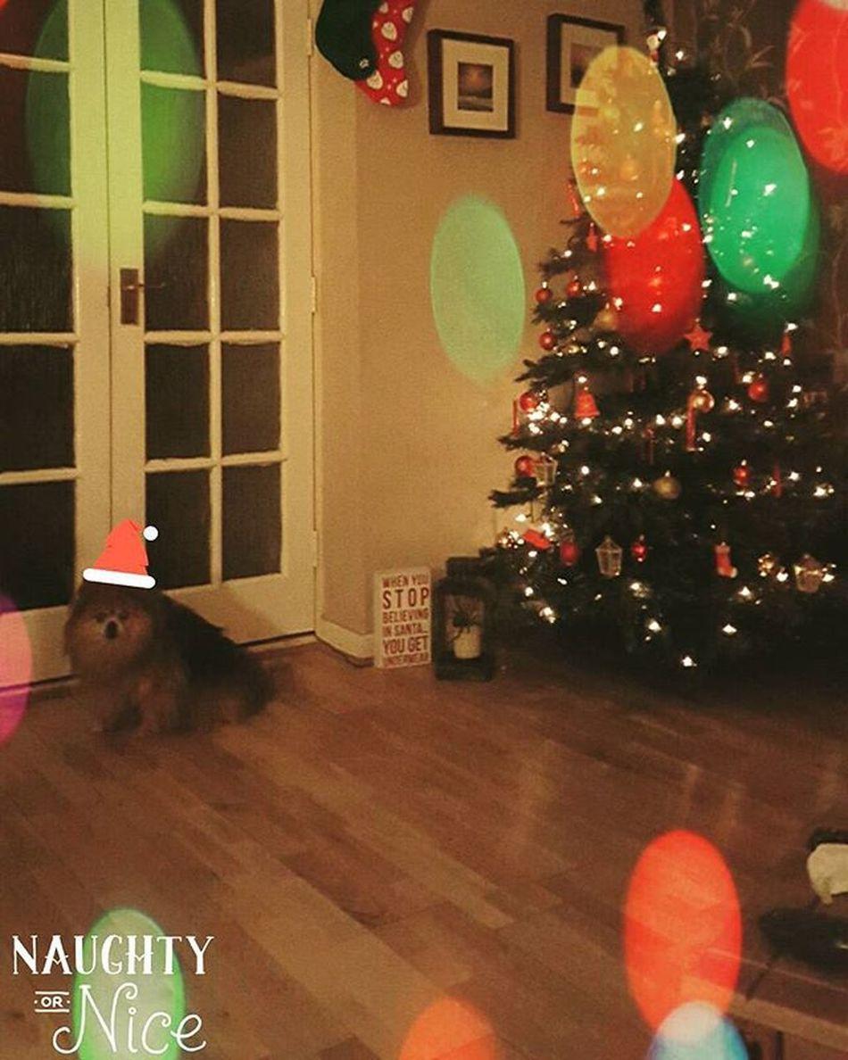 Pikachu wishing everyone a MerryChristmas Fluffydog Pomchi Pomchisofinstagram Christmas Hejustwantstogooutforawee Festive Pet Petsofinstagram