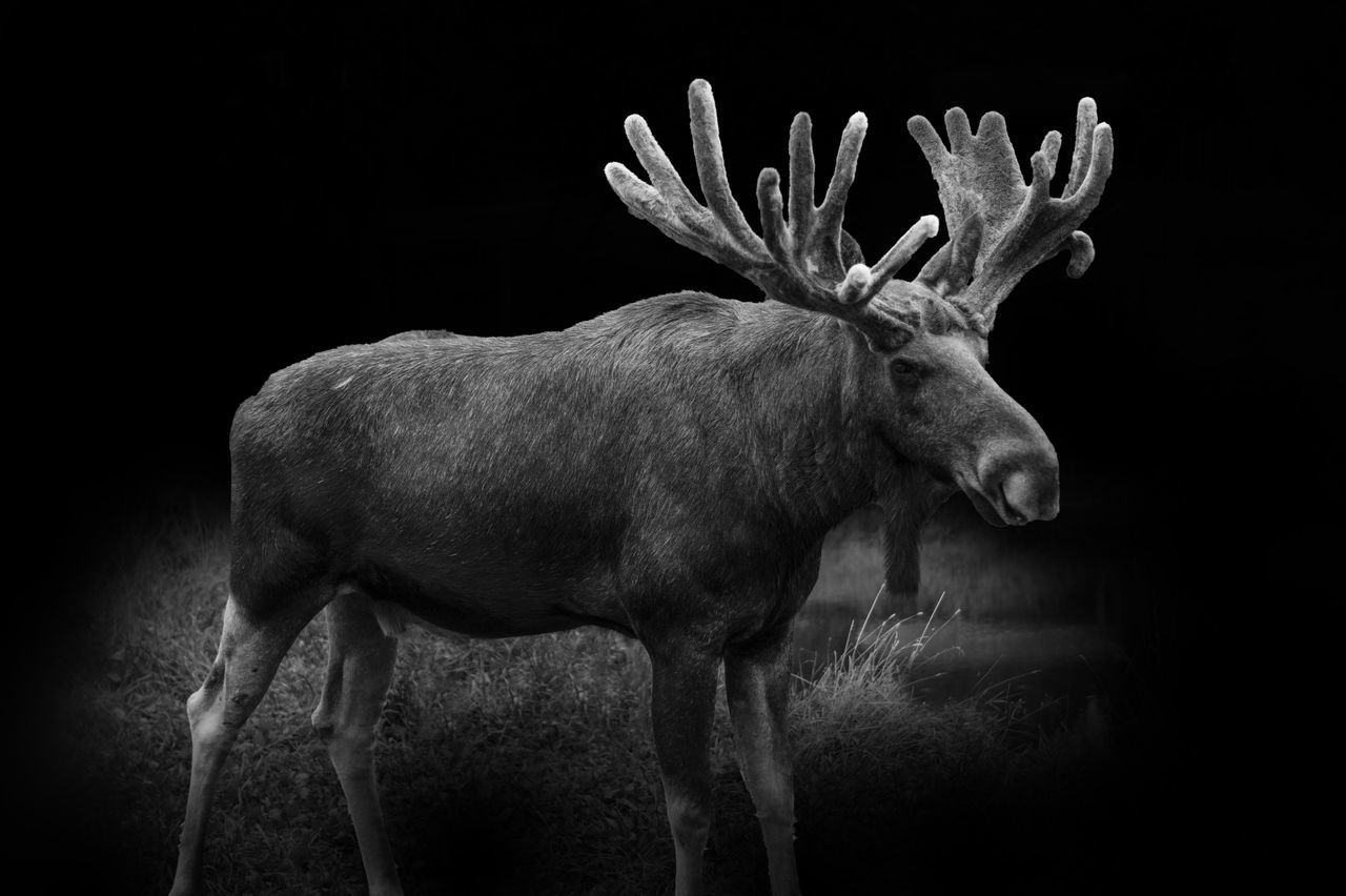 Expressive Black Background Blackandwhite Edit Elch Elche Enormous Force Full Length Majestic Majestic Animal Majestic Nature Moose Natur Nature Nature Photography Nature_collection No People One Animal Peace Quiet Save Nature  Strong Studio Shot Sweden