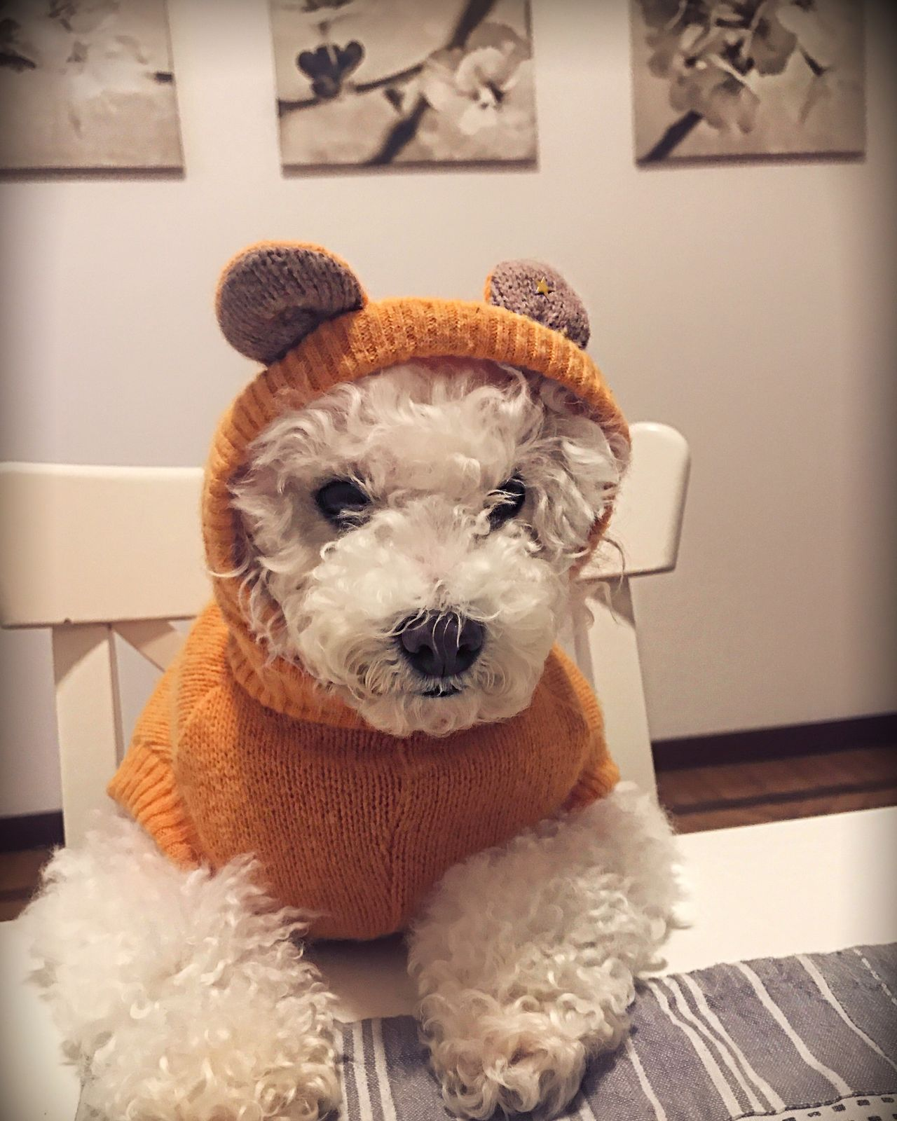 Dog Poodle Poodle Love Poodletoy Domestic Animals Looking At Camera Pets Animal Themes Animalface Portrait One Animal Home Interior Mammal No People Stuffed Toy Angry Posing Small Clothes Dresseddog Dressed