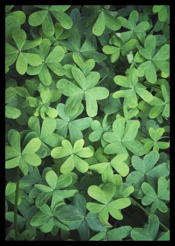 In the clover patch. Hiddeninplainsight Colorful Green Foliage