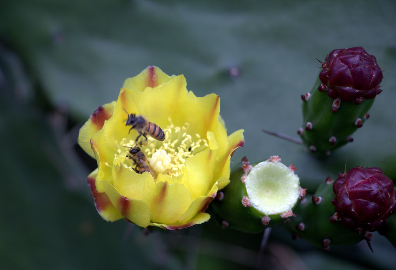 flower, freshness, beauty in nature, yellow, nature, petal, growth, close-up, fragility, no people, outdoors, day, plant, flower head, blooming, prickly pear cactus, water