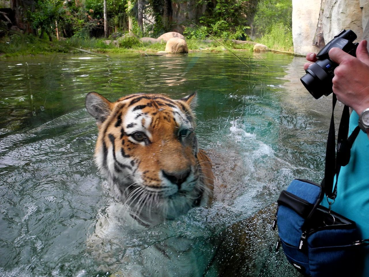 Water Animal Themes One Person Outdoors People Nature Nature Outdorphotography TigerCat Tigers❤ Outdoor Photography Close-up Animal Wildlife