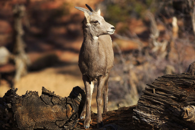 Bighorn Sheep Zion National Park Wildlife Photography Animals EyeEm Nature Lover EyeEm Best Shots I Hope My Pictures Touch Your Hart Bestoftheday Fine Art Canon Eye4photography  Nature United States Animals In The Wild Wildlife Canon 5d Mark Lll Utah Cute Animals Cute Critters
