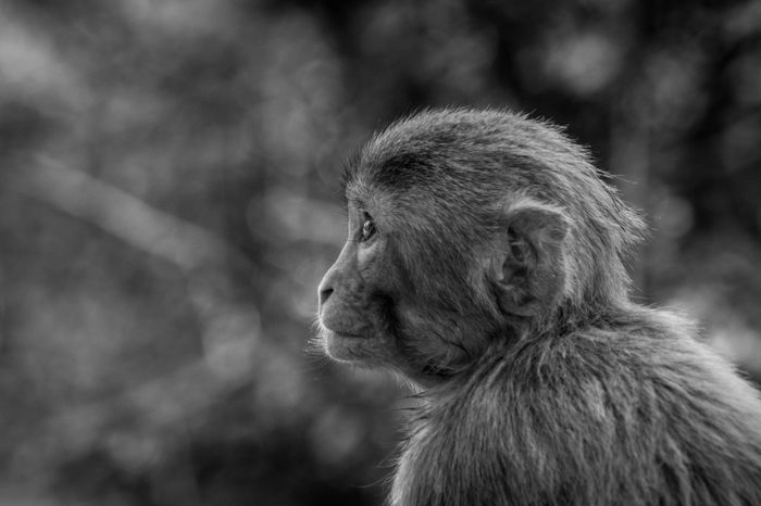 Naughty At Its Prime Monkeys have been quite mischievous in nature. Specially when you are used to seeing them stealing food oyt of people while they are walking in the street. The photo is taken in the premise of the swayambhunath stupa in Kathmandu aka. Nikon Nikonphotography Nepal Blackandwhite Photography Black And White Black Beauty In Nature No People Monkey Baby Temple Stupa Kathmandu Naughty♥ Prime Youth