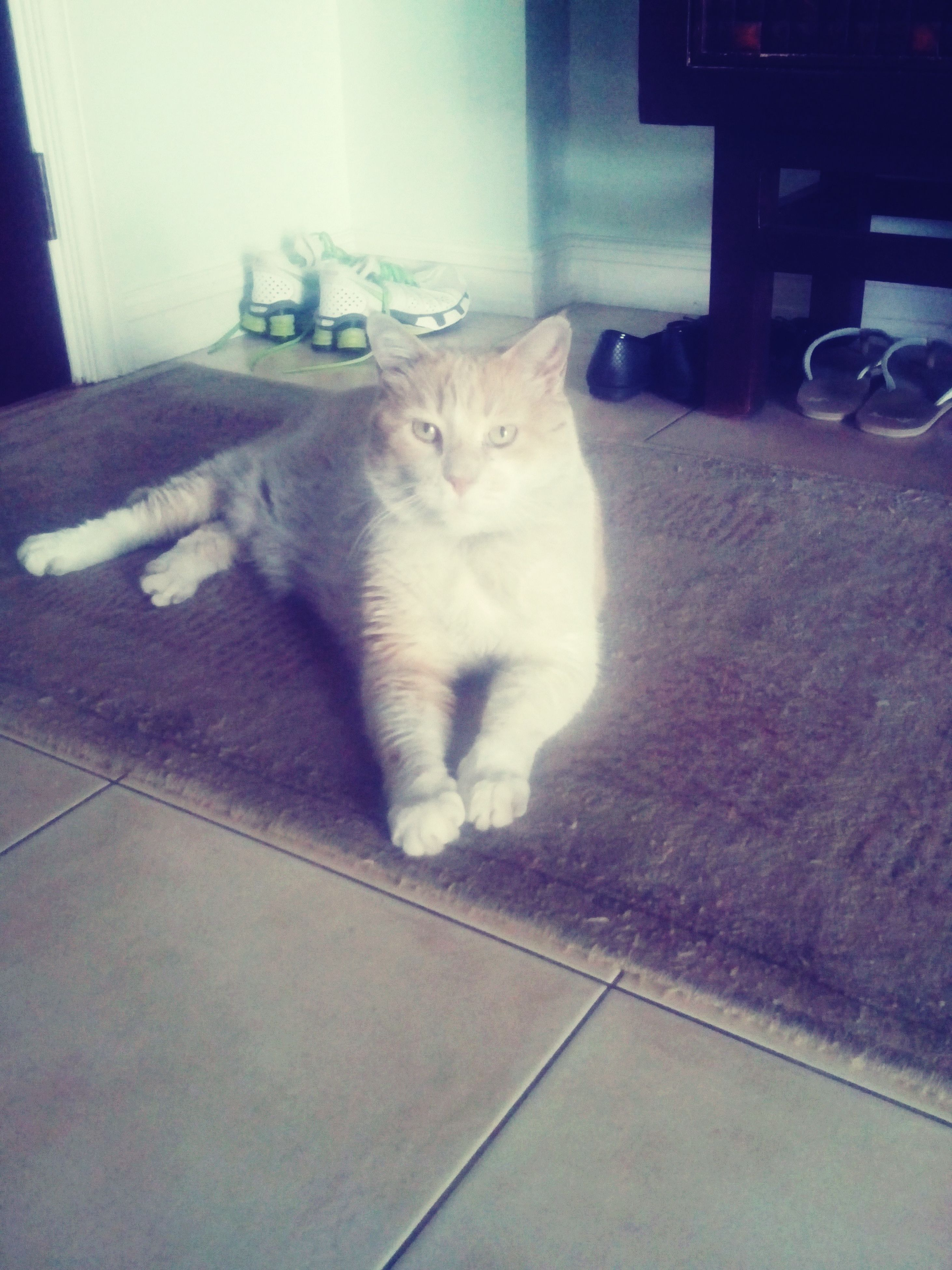 domestic cat, cat, pets, domestic animals, one animal, animal themes, feline, mammal, indoors, relaxation, whisker, sitting, portrait, resting, looking at camera, lying down, home interior, no people, full length, alertness