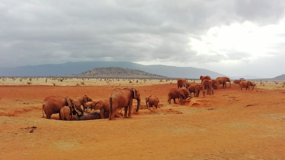 Large Group Of Animals Animals In The Wild Animal Wildlife Environment Nature Accidents And Disasters Landscape Animal Herd Outdoors No People Elephant Flock Of Birds Animal Themes African Elephant Day Finding New Frontiers Safari Safari Animals Desert Savannah Red Dust Red Elephant Holiday Trip