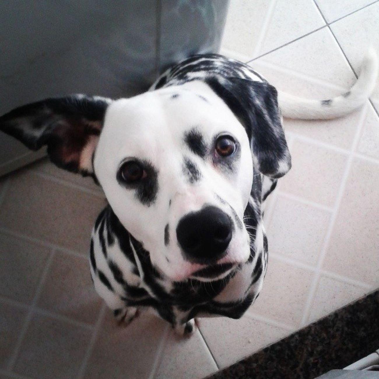 I Love My Dog Dalmatian Dalmataslevados