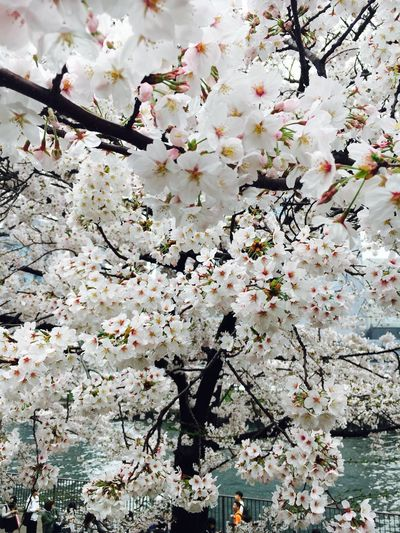 Flower Beauty In Nature Sakura Blossom Japan Springtime No People