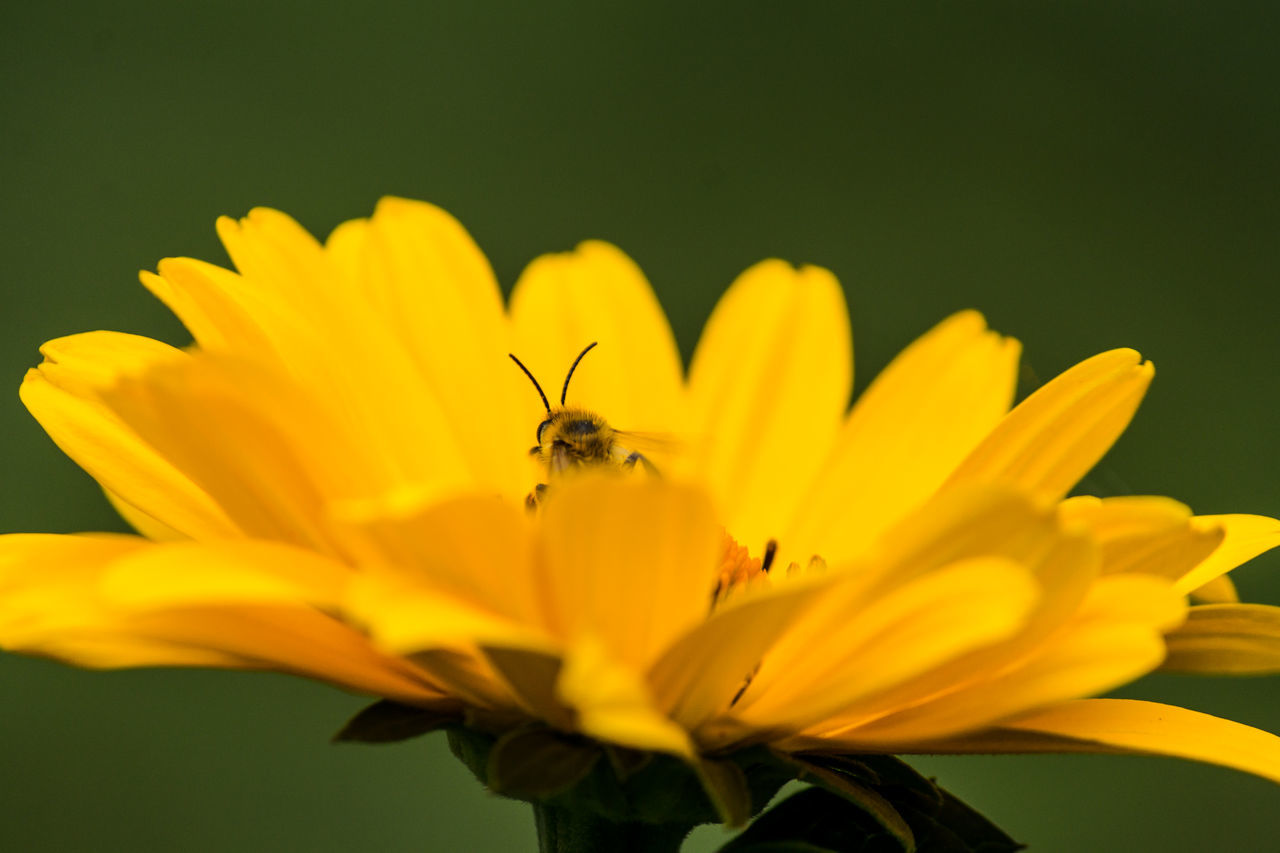 the bee and the flower #1 Beauty In Nature Bee Blooming Botany Close-up Day Flower Flower Head Focus On Foreground Fragility Freshness Growth Insect Nature No People Outdoors Petal Plant Pollen Pollination Selective Focus Stamen Wesp Wildlife Yellow