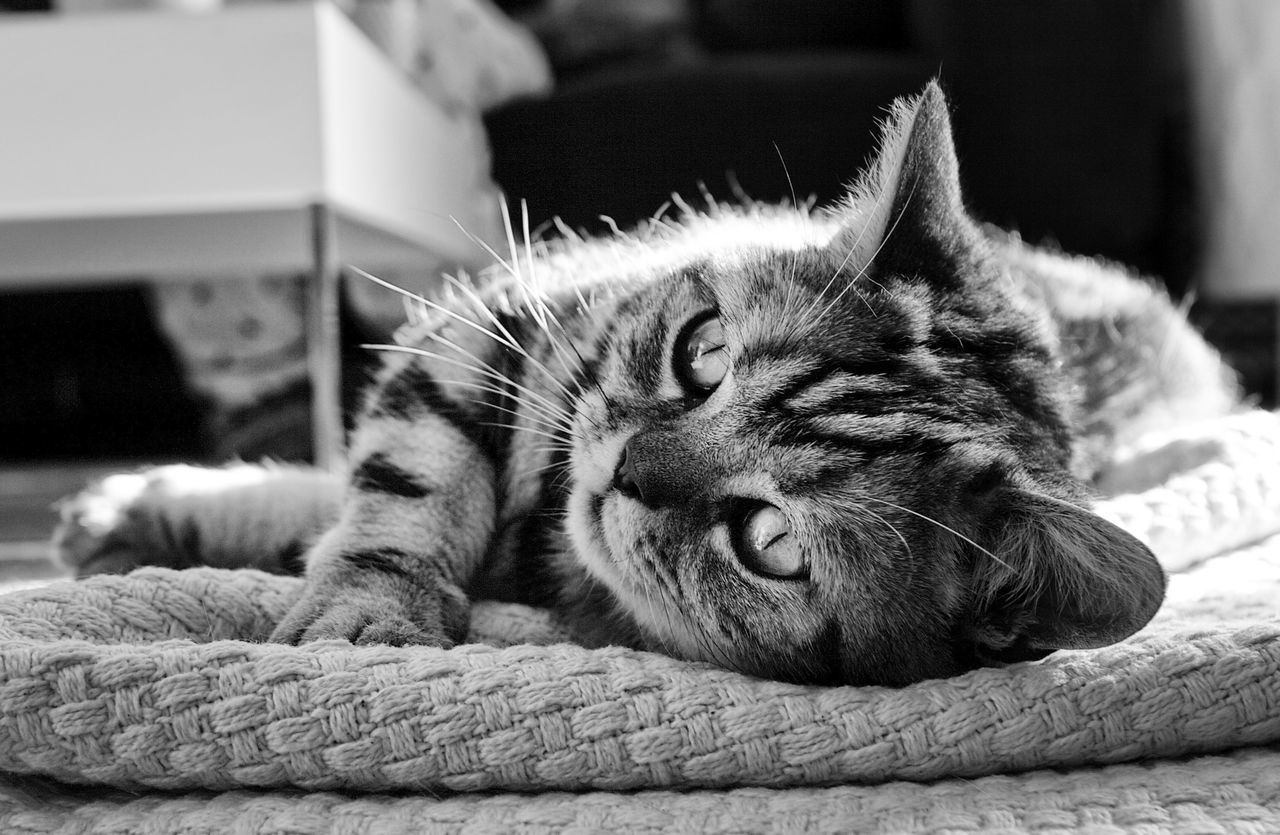 domestic cat, animal themes, domestic animals, pets, sleeping, one animal, relaxation, mammal, feline, cat, resting, indoors, comfortable, lying down, no people, whisker, close-up, bed, day