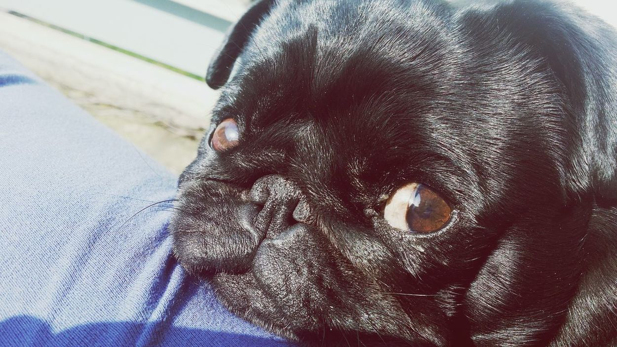 Sweet Eyes Puglife I Love Dogs My Dog Loves Me