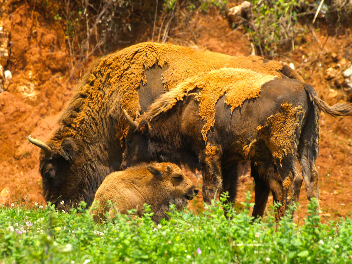 American Bison Animal Animal Themes Animals Animals In The Wild Bison Bison, Buffalo, Blackbirds, Wyoming, Wild, Animal, Horns, Fur, Raw, Bisons Day Environment Fauna Field Grass Mammal Nature Nature No People Outdoors Power Powerful Tranquility Tranquilscene Wildlife Zoo Animals