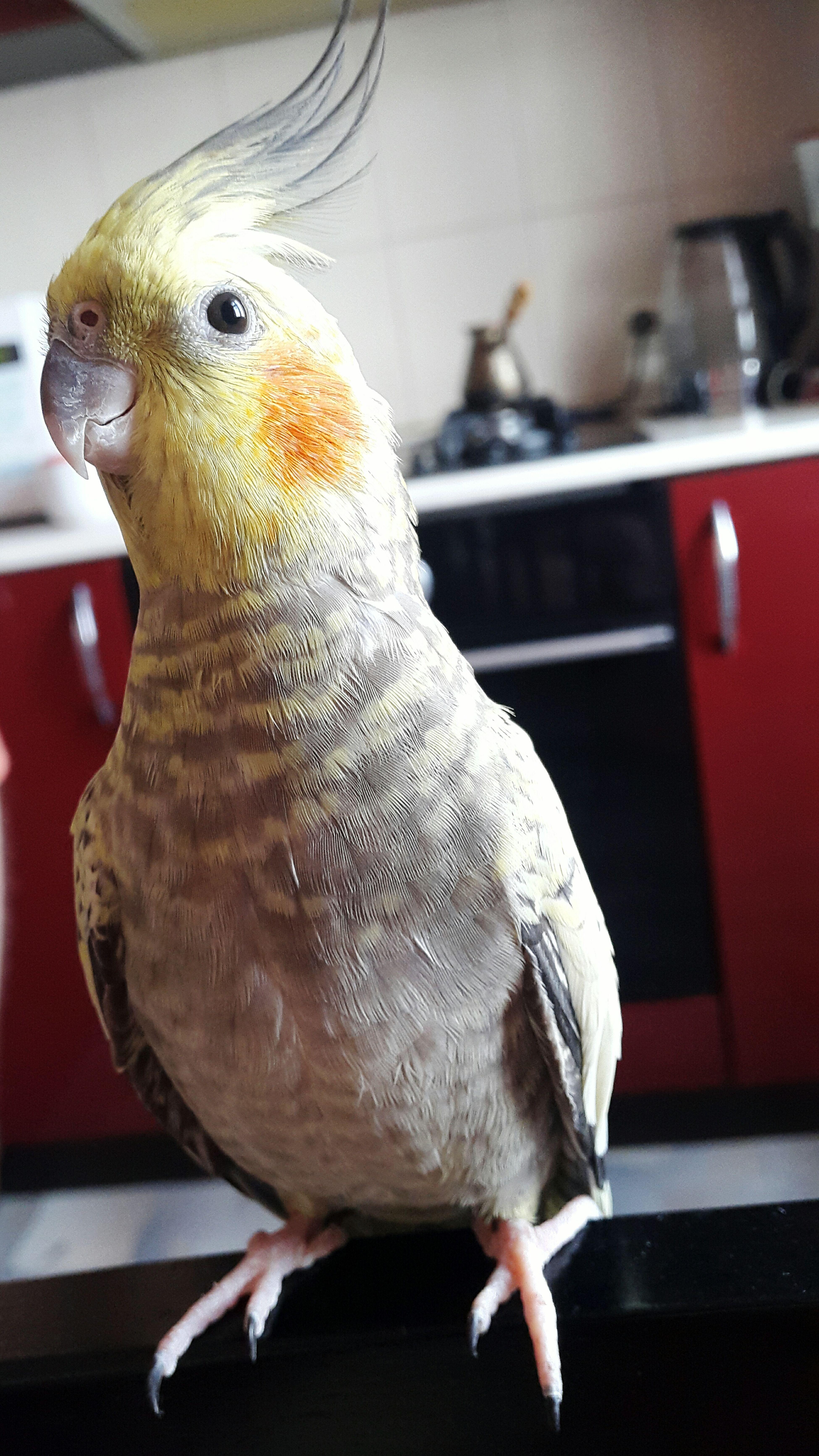 Petstagram Jango Parrot