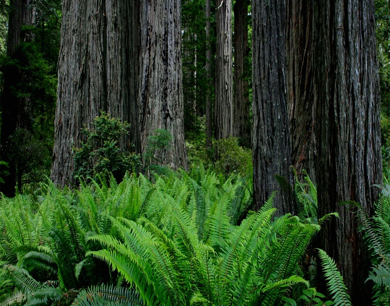 Growing Better , redwoods, national park, trees, ferns, nature
