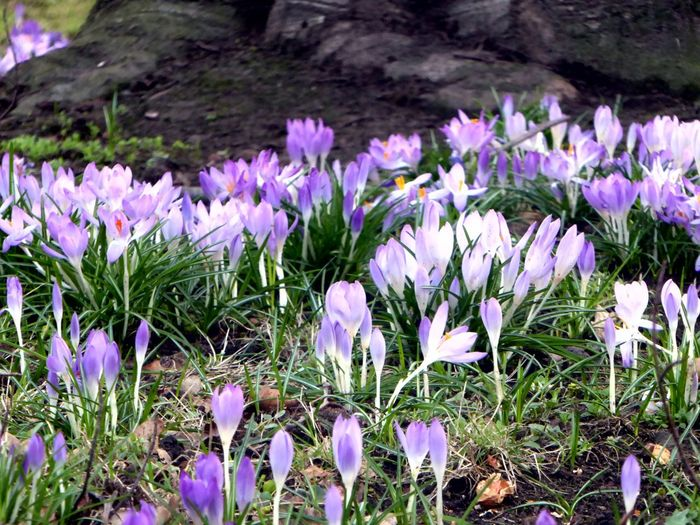Crocus Flowers In Front Of A Big Tree Roots Of Tree Purple Nature Growth Beauty In Nature Fragility Blossom Sunnyday 🌸🌷🌿 Zoooom😍 Krokusblüte Spring Is Here 🌞 Tranquil Scene Enjoyinglife  Blooming Close-up For My Friends 😍😘🎁 Nature überall Krokusse😍 Crocus Purple Flowers High Angle View Sunny Day 🌞 Freshness