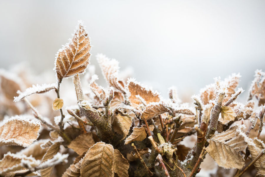 Back Lit Beauty In Nature Botany Branch Brown Color Close-up Focus On Foreground Fragility Frost Frosty Frosty Leaves Leaves Nature No People Orange Color Outdoor Nature's Diversities Plant Selective Focus Twig White Winter Wintertime Withered  It's Cold Outside