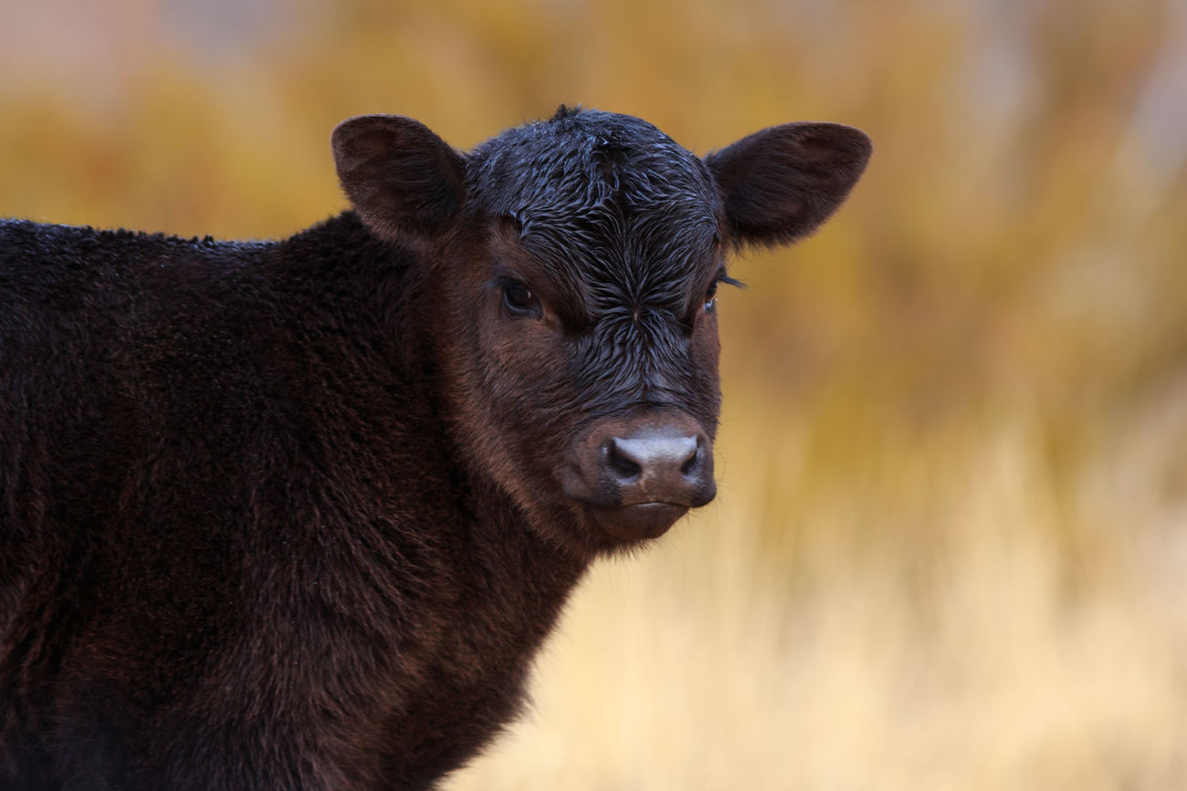 Cutie Calf Love Baby Animals Looking At Camera Black Angus Farm Animals Cow Cattle Ranch Life Baby Cows On The Farm One Animal No People Portrait Animal Mammal Black Black Cow
