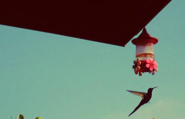 Beija-flor Flying Hummingbirdvine