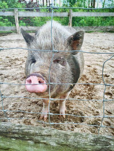 Er heißt Willi ...😊🐷😃💕💫☀️ Tiere♡ Naturelovers Hello World Enjoying Life Hello World Loveee ♥ Klaistow Zoology Tiere/Animals