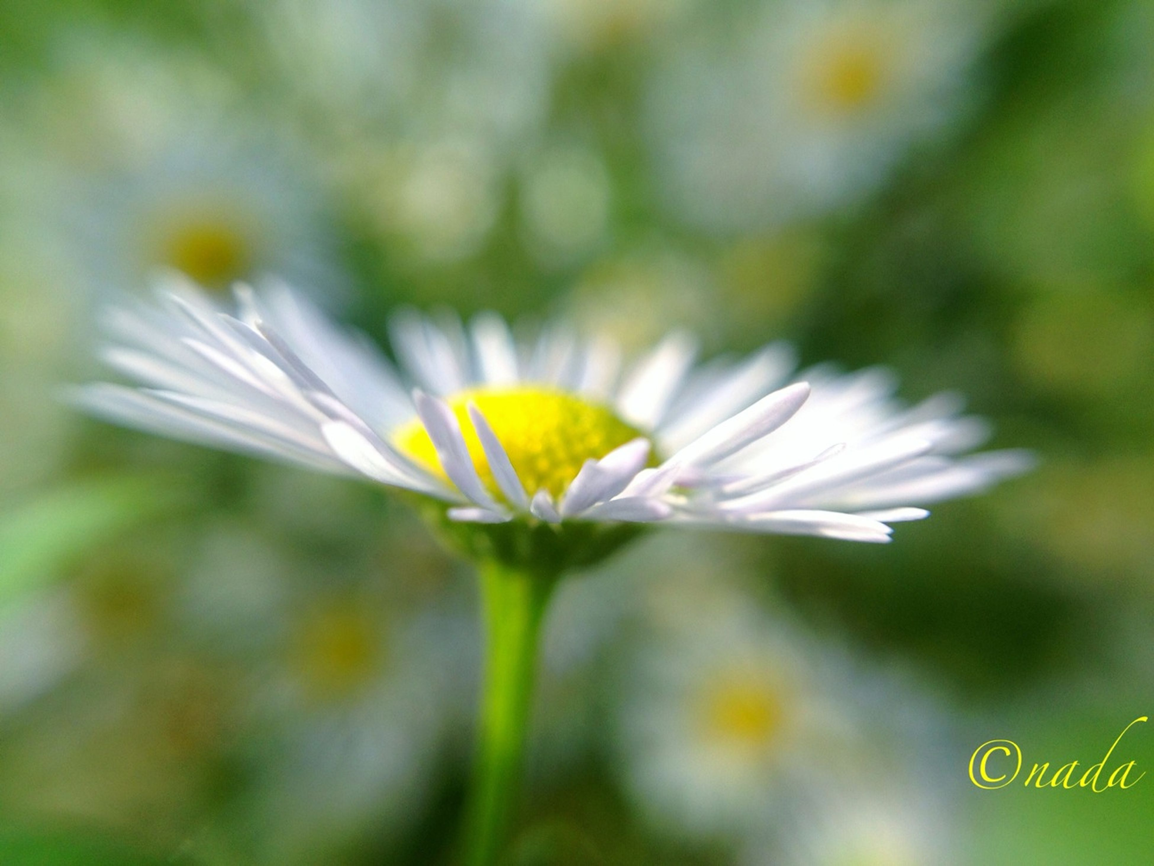 flower, petal, fragility, freshness, flower head, insect, growth, one animal, animal themes, beauty in nature, close-up, focus on foreground, white color, yellow, pollen, nature, wildlife, animals in the wild, single flower, blooming
